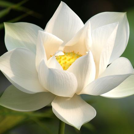 Une très belle fleur de lotus